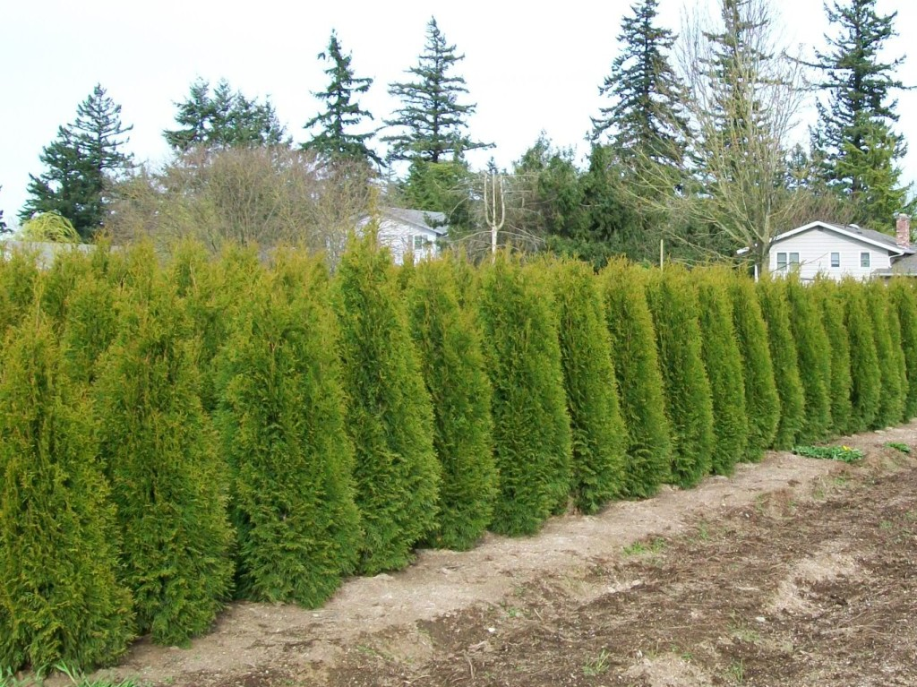 Emerald Green Privacy Trees